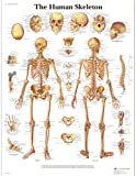 3B Scientific The Human Skeleton Chart