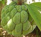 Annona squamosa - Sugar Apple - Rare semi tropicale pianta (20)