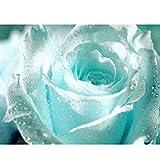 Keland 50 Edelrose Rosensamen Blütemeer für Ihr Garten, Lange Blütezeit, Blumensamen mehrjährig edle Form und samtiges Aussehen (Hellblau)