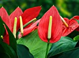 #5: Imported Anthurium Seeds by Bee Garden (Pack of 50 Seeds)