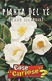 Semi - Pianta del The (Camellia Sinensis o Thea Sinensis)