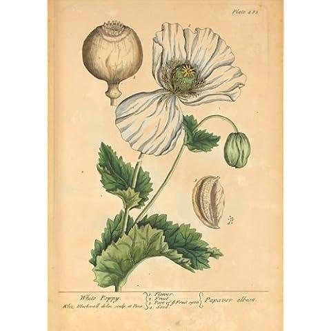 "ELIZABETH BLACKWELL Vintage Naturalist c1738 dal libro ""Curioso Herbal"