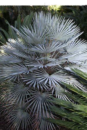 Winterharte Blaue Zwerg-Palme 10 Samen -Chamaerops humilis var cerifera