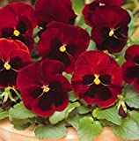 Flower Seeds : Pansy Scarlet Red Variety Flower Seeds – For Farmingby Creative Farmer