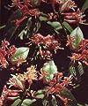 Jelängerjelieber/ Geißschlinge - Lonicera henryi 60-100 cm, ab 2 Triebe von Gartengruen24 - Du und dein Garten