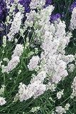 Portal Cool 20+ Lavandula, Ellagance Weiß Schnee, Staude duftender Lavendel Blumensamen