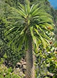 Pachypodium lamerei - Madagaskar Palme - 5 Samen -Sukkulenten