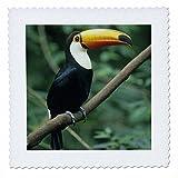 3drose QS _ 85576_ 5Toco Toucan, tropischen Vogel,