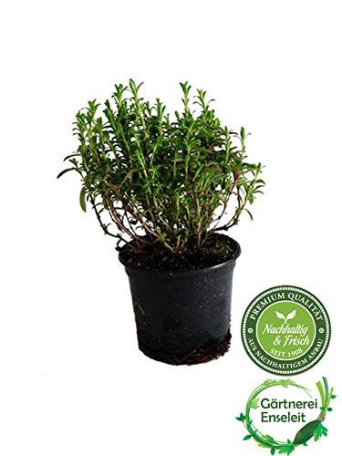 Berg-Bohnenkraut,1 Pflanze Bergbohnenkraut,Satureja montana -