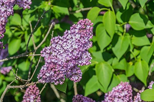 Gemeiner Flieder Syringa vulgaris Pflanze 20cm lila Blüten gewöhnlicher Flieder
