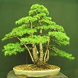 10 PC / bag Zeder Samen Arten von grünen Bonsai-Baum Samen der japanischen Zeder Pflanze für Hausgarten Gerade mehrjährigen Gehölzen 3