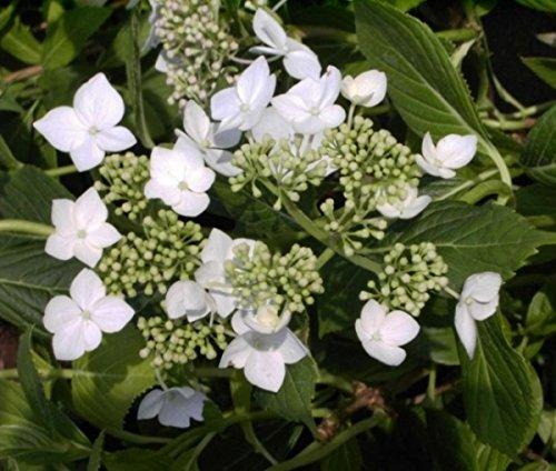Bauernhortensie Lanarth White - Tellerhortensie - Hydrangea macrophylla Lanarth White