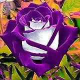 #7: Rose Plant Purple White Osiria Rose Shrub Bush Hardy Rosa Perennial Flower 1 grafted Rose Plant