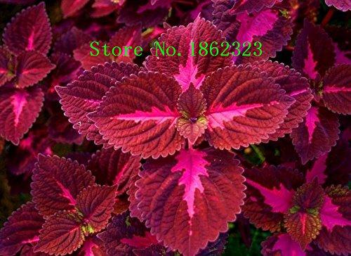 Galleria fotografica Nuovo arrivo! 100 Pz Ginger Seeds balcone verdura semi in vaso bonsai Pianta Four Seasons Zingiber Semi Piante, # XOYTND