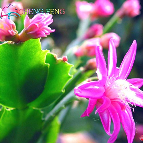50PCS / PACK 2016 Véritable Graines de vacances Cactus Bonsai Plantes Graines Jardin Fleur