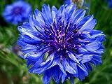 Aciano - Centaurea Cyan - Wildflower 150 Semillas