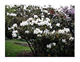 5 x Rododendro Griffithianum Bianco Seme - - - ID49