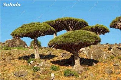 Dracaena arbre Graines, Arbre de sang (Dracaena draco), Graines rares Showy géant Fleur de cerisier Bonsai pot jardin Plantes 10 Pcs 2