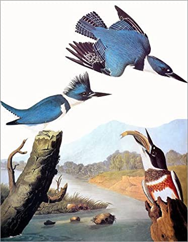 Forex-Platte 80 x 100 cm: Audubon: Kingfisher. von John James Audubon / Granger Collection