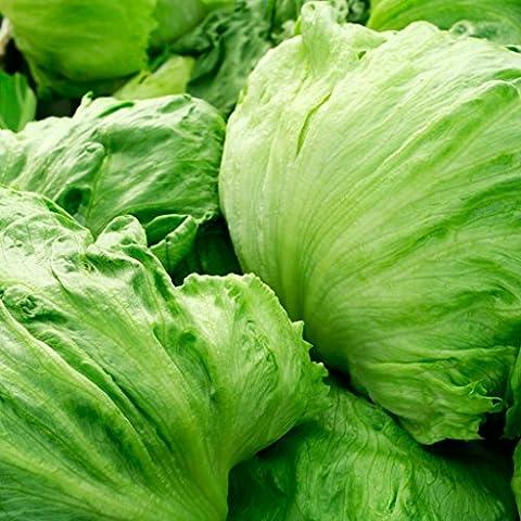 GROSEEDS - Vegetable Seeds, Lettuce - Great Lakes, V-LET-015, 500 Seeds Minimum Per Packet.