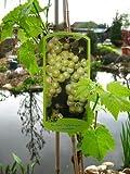 Weinrebe Lakemont -R- kernlos 80 cm hoch im 3 Liter Pflanzcontainer