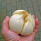 100pcs/bag Aquatic Multi-Blütenblätter Knoblauch Samen Riesen-Bio-Gemüse Küche Würzen von Speisen Bonsai oder Topfpflanze für Hausgarten 2