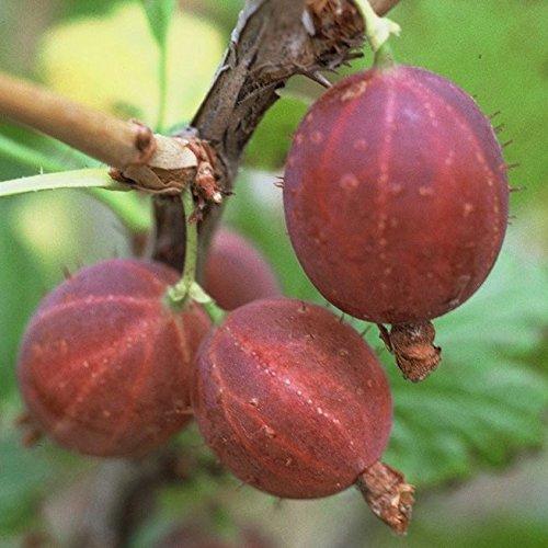 Hinnonmäki rot, Stachelbeere Busch, aromatisch, mehltaufest, platzfest, ca. 30-50 cm im 3 Liter Topf