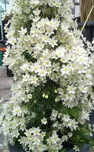 QHYDZ Seeds-100pcs Semillas Flores de Clematis