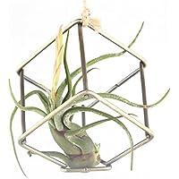 Stile rustico porta libera installazione Tillandsia Air per piante da appendere in metallo nero, bronzo 8cm x 8cm, altezza Quadrilateral a forma di cubo geometrico (Bronzo)