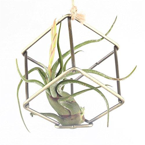 stile-rustico-porta-libera-installazione-tillandsia-air-per-piante-da-appendere-in-metallo-nero-bron