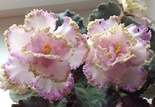 Usambaraveilchen  <strong>Pflanzempfehlung</strong>   Alle 2 Jahre im Frühjahr in einen größeren Topf mit frischer Kübelpflanzenerde pflanzen