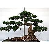 20 PC / bolso semillas de pino negro semillas verdes árboles bonsai planta de Pinus thunbergii Parl para el jardín de plantas