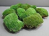 Premium Bodengrund- Moos für Reptilien, Amphibien und Insekten im Terrarium extra dicker Moosgrund aus Kugelmoos (6 Premium Kugeln)