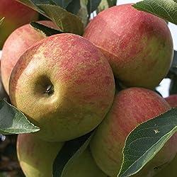 Müllers Grüner Garten Shop Elstar Apfelbaum als Zwergbaum kleinbleibend Buschbaum 120-150 cm 9,5 Liter Topf M26