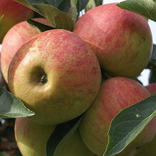 Müllers Grüner Garten Shop Apfelbaum Elstar aromatischer Winterapfel Hochstamm 180 cm Stamm wurzelnackt Unterlage Sämling