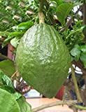 swiftt 10stk Große Zitrone Samen Aromatische Pflanzensamen Limette Samen Riesen Limettenbaum Samen,Bonsais Samen Essbare Green Lemon Samen