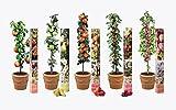 5x Obst Baum , Säulen Kollektion Pflanzen Birne, Kirsche, Pflaume, Apfel und Pfirsich