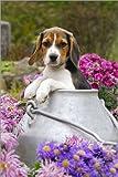Posterlounge Alu Dibond 120 x 180 cm: Beagle Hund Welpe in Einer Milchkanne von Katho Menden