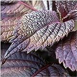 PLAT FIRM KEIM SEEDS PLATFIRM-Paket von 300 Samen, Red Shiso Seeds (Perilla)