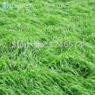 Grosses soldes! Bleu fétuque Seeds - (Festuca glauca) Perennial Hardy Herbe ornementale si facile à cultiver - 100pcs / lot