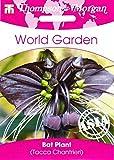 Portal Cool Schwarz Fledermauspflanze - Fledermausblume, Haus-Anlage, ca. 4 Seeds 7338