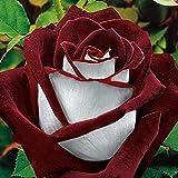Keland 100 mehrjährig Rosensamen Blumensamen Blütemeer Bonsai Samen winterhart für Ihr Garten/Sand, Lange Blütezeit