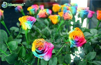 50pcs graines Rare semences Rainbow Rose, Colorful plantes jardin Amant rares Graines Rainbow Rose Fleur