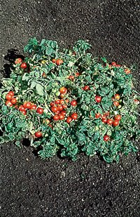 premier-seeds-direct-org148-tomato-tiny-tim-organic-seeds-pack-of-50