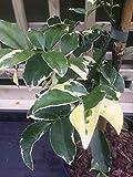 Shop Meeko Croce Comune Nursery Pandorea jasminoides Charisma