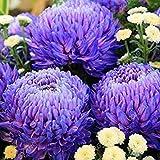 Vistaric 100 Teile/paket Aster Samen Aster Blume Bonsai Blumensamen Regenbogen Chrysantheme Samen Mehrjährige Blumen Hausgarten-anlagen Chrysantheme samen