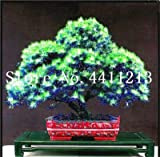 prime vista 20 stücke Goldene Mimose pflanzen Seltene Schöne Akazie Gelb Wattle Tree Pflanzen Hausgarten Blume pflanzen Edlen Bonsai Geschenk bonsai: 1