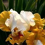 Schwertlilie, Iris x barbata-elatior 'Yes'
