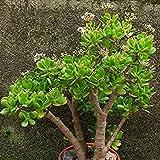 Vistaric 20 Pz/Borsa Crassula Ovata Seme Crassula Oblique 'Gollum Piante Fogliame Coperte in Miniatura Pianta in Vaso Semi di Piante Succulente