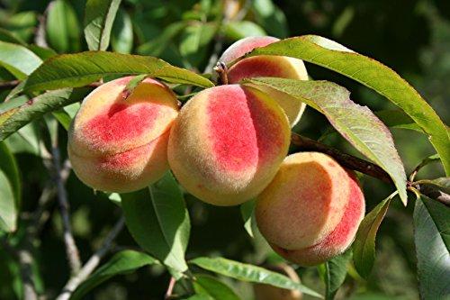 Pfirsichbaum Obstbaum Prunus persica 'South Haven' ca. 150cm im Topf gewachsen